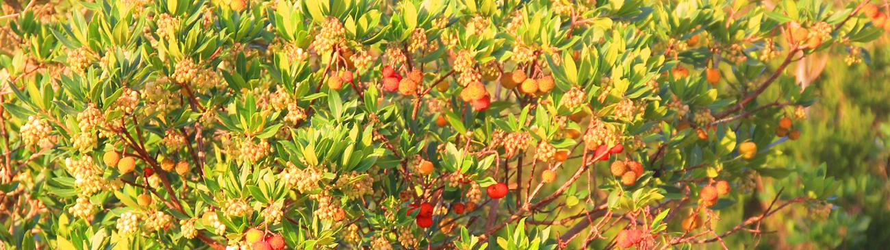 pianta del corbezzolo con frutti maturi